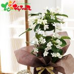 遅れてごめんね 父の日 プレゼント マダガスカルジャスミン鉢植え 2021 ギフト メッセージカード 父の日ギフト 花 鉢植え 鉢植えギフト 送料無料 お取り寄せ