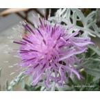セントーレア ギムノカルパ (ピンクダスティミラー)花苗 耐寒性宿根草苗