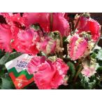 シクラメン 花鉢:バラ咲きシクラメン T.ローザヘミングゴールド