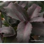 セダム パープルエンペラー 銅葉カラーリーフ 耐寒性宿根草