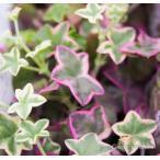 斑入り葉アイビーゼラニウム エレガンテ 苗
