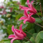 4弁のチューリップ咲きで横向き咲きの人気品種。