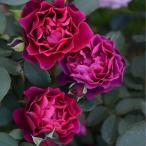 夏でも咲いてくれる大人色のバラ