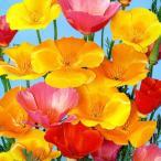 Yahoo!Gardener s shop Ivy【種子】カリフォルニアポピーの種 1dl入りお徳用大パック 【お取り寄せ品】 トーホクのタネ