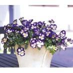 【種子】虹色スミレ  ノーブル(青紫〜白) サカタのタネ