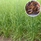 Yahoo!Gardener s shop Ivy【種子】アウェナ ストリゴサ(エンバク野生種) 緑肥用エンバク(えん麦) ヘイオーツ 10kg 【お取り寄せ】 雪印種苗