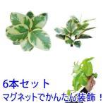 マグプランツ マグネット式人工観葉植物 フィカス・アルテシーマ 6本セット (BY-DCMP-014)