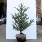 モミノキ(ウラジロモミ) 樹高0.9〜1.0m前後(樹高/根鉢含む)(送料無料) もみの木 クリスマス ツリー プレゼント 贈り物 本物