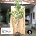 ネズミモチ 樹高1.5m前後 露地苗 シンボルツリー 常緑樹