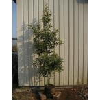 ヤマモモ(山桃) 樹高1.5m前後 露地苗 シンボルツリー 常緑樹