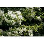 アオダモ 株立ち 樹高2.0m(樹高/根鉢含む)