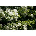 アオダモ 単木 樹高1.2m(樹高/根鉢含む)
