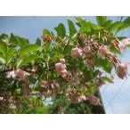 エゴノキ・ピンクチャイム単木 樹高2.5m前後 シンボルツリー 落葉樹【木曜日発送】
