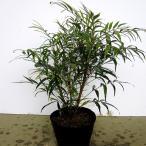 マホニアコンヒューサー(細葉ヒイラギ南天) 樹高0.5m前後 ポット苗 低木 常緑樹