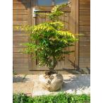 ヒイラギナンテン(柊南天) 露地苗 樹高80cm前後(樹高/根鉢含む)