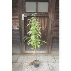 常緑ヤマボウシ/ヒマラヤ 株立ち 樹高1.2m前後(樹高/根鉢含む)