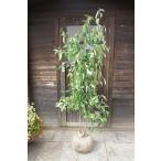 常緑ヤマボウシ/ヒマラヤ 株立ち 樹高1.8m前後(樹高/根鉢含む)