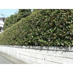 ヒイラギモクセイ(柊木犀) ポット苗 樹高1.0m前後(樹高/根鉢含む)
