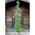 常緑ヤマボウシ/ホンコンエンシス月光 樹高1.8m前後(樹高/根鉢含む)