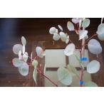 ユーカリ/ポポラス(マルバユーカリ) 樹高1.8m前後 ポット苗 シンボルツリー 常緑樹