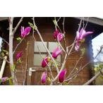 【木曜日発送】モクレン(紫花)樹高2.5m前後