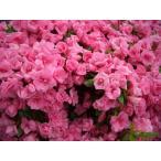 サツキ/ロージー(四季咲き) ポット苗 樹高20cm前後(樹高/根鉢含む)