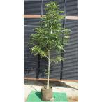 シマトネリコ 単木 樹高1.5m前後(樹高/根鉢含む)