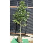 シマトネリコ 単木 樹高1.8m前後(樹高/根鉢含む)