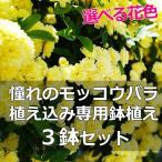 3鉢セット モッコウバラ 植え込み専用 鉢植え モッコウバラ苗 4.5〜5号 黄色 白