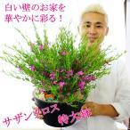 送料無料 サザンクロス 9号 白い壁のお家に映える 玄関用の大鉢仕立て 夏 鉢植え 多年草 花