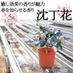 [※花終了後株の販売※] 沈丁花(ジンチョウゲ) 5年生 5寸 送料無料 癒し効果の香りが魅力 春を知らせる香り