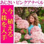 送料無料 アジサイ 紫陽花 鉢花  アメリカアジサイ ピンクアナベル 4.5寸鉢