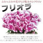 送料無料 シクラメン 6号 フリオラ 全3色 大株 贈答品 上質なシクラメン 鉢植え 花 お歳暮 鉢花 ギフト 代引き不可