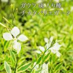 【送料無料】ガウラ 斑入り チカタバリエガータ 10.5センチポット 12苗セット 宿根草 苗 セット 耐寒性
