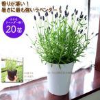 ショッピング苗 送料無料 ラベンダー グロッソ【20苗セット】 花なしガーデニング専用株 lavender
