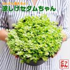 送料無料 多肉植物  涼しげ セダムちゃん 8号大鉢 直径24cmの鉢  斑入り 育て方簡単