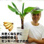 送料無料 ドワーフモンキーバナナ 6号大苗(7号の鉢つきです)果樹苗
