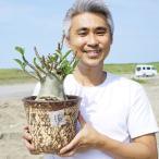 【16】 タイ直輸入 アデニウム アラビカム 6号 花色は不明 バオバブスタイル 枝数多い