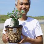 【9】 タイ直輸入 アデニウム アラビカム 6号 花色は不明 バオバブスタイル 枝数多い