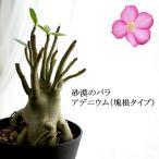アデニウム 送料無料 塊根タイプ 6号(18cm)鉢 奇怪植物 ビザールプランツ