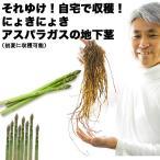 送料無料 アスパラガスの地下茎 アスパラ 苗 アスパラガス 地下茎 販売 初心者さんでも安心 家庭菜園 収穫