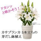 カサブランカ 5本立ち 芽だし鉢植え 10号(30センチ)送料無料