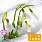 2月咲き スノードロップ 球根 5球セット 初心者向け 秋植えで早春のまだ寒い時期に咲き始める水仙の仲間 メール便送料無料