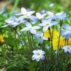 3月咲き 球根 ハナニラ ウィズレーブルー 10球セット 秋植えで春に花咲く清楚で可愛い花 年を重ねるごとに分球して群生します メール便限定 送料無料