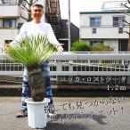 現品の販売です 送料無料 ユッカ ロストラータ 大きな120センチ級  10号鉢 鉢植え 苗木 植木 鉢植え
