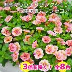ショッピング苗 カリブラコア ティフォシー マウンティングタイプ 3.5寸 6苗セット 送料無料 全8色から選べる