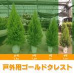 ショッピングゴールド ゴールドクレスト コニファー  6号 0.7m 戸外用 屋外用 送料無料 農家直送 クリスマスツリー 庭木 植木