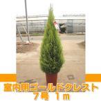 ショッピングゴールド ゴールドクレスト 約1m  ウィルマ コニファー 送料無料 室内用 7号 農家直送 クリスマスツリー 庭木 植木