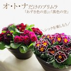 送料無料 プリムラ 8号(直径24センチの鉢) 茜色の空 あずき色の恋 産地直送 花苗 販売