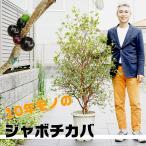 【5/4から21着不可】送料無料 ジャボチカバ 10号(30センチ)大鉢植え 常緑樹 果実が美味しい 珍しい